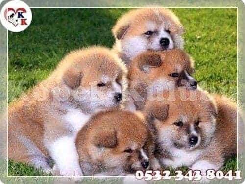 akita köpek fiyatları