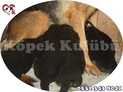 alman çoban köpeği yavru fiyat