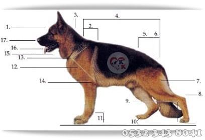 alman çoban köpeği ırk standartları