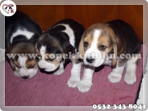 beagle, yavru