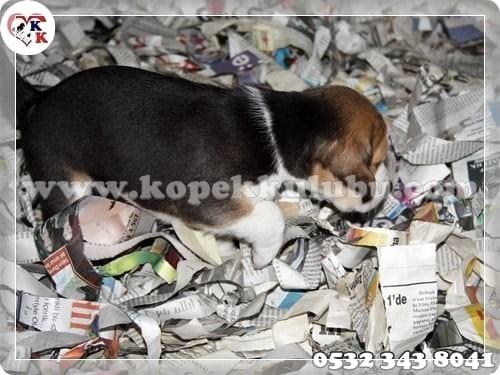 beagle yavru satılık