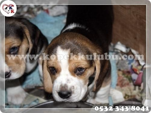 satılık beagle yavrusu