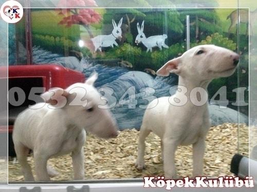bull terrier yavru