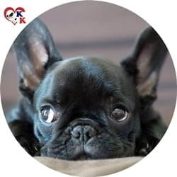 french bulldog izmir
