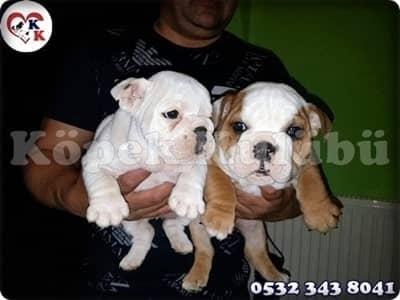 ingiliz bulldog fiyat