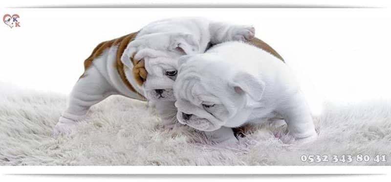 ingiliz bulldog
