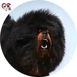 tibet mastifi yavru