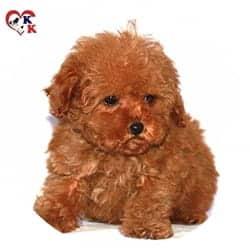 toy poodle yavrusu
