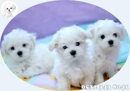 maltese terrier yavru