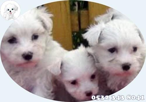 maltese terrier yavruları