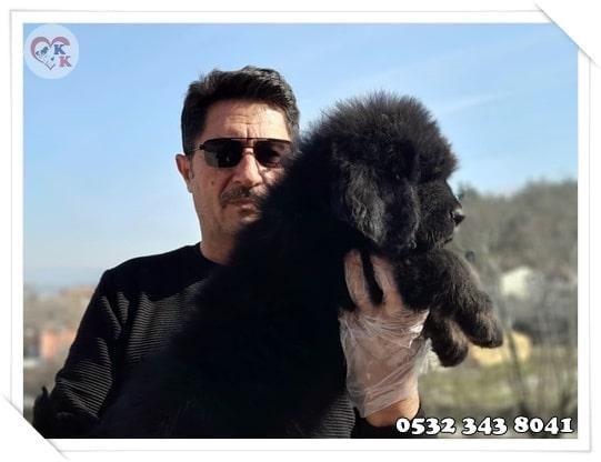 Tibet Mastifi Fiyatları