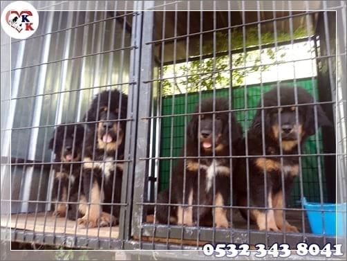 tibet mastiff yavruları